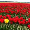 Blumenparadies Holland: Keukenhof und Floriade